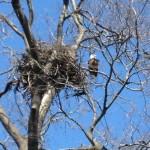 Nesting Bald Eagles on Hen
